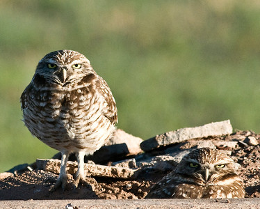 EK9_1748 1-11-10 Burrowing Owl Imperial County