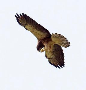 EK9_5728 Swainson's hawk 3-21-10 Borrego