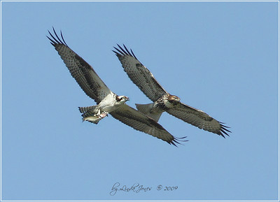 Osprey with fish, chased by a hawk