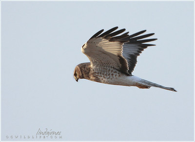Male Harrier, Irvine