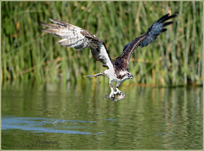 Osprey with fish, Long Beach