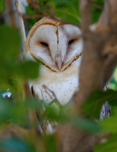EGK_0519 Barn Owl Jacumba 9-1-12