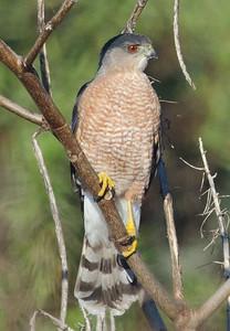 EGK_4933 Cooper's Hawk adult 2012 TRV