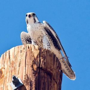 EK9_7511 Prairie Falcon 10-16-10 Borrego