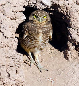EGK_0935  Burrowing Owl IMP Co 11-25-10