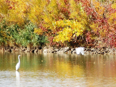 White egrets in the vicinity of SR 2 & SR 269. (Photo by Chronicle reader Ron Bakalar.)