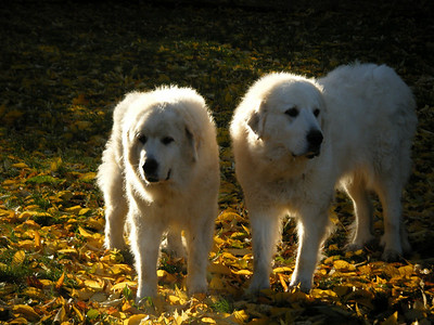 Great pyrenees dogs enjoying the cool weather by Cathy Baumert.