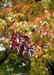 Sweetgum tree. (Photo by Chronicle reader Olga Vincek.)