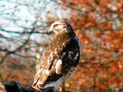 Photo taken Nov. 1, 2009 of red-tailed hawk at Sandy Ridge, part of Lorain County Metroparks, by Rose Myers, Elyria.
