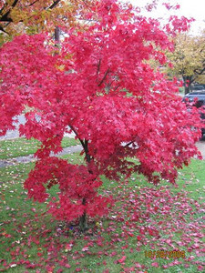 This is infront of my house on Livermore, Elyria. It's Japenese tree. Diane M. Mohrman