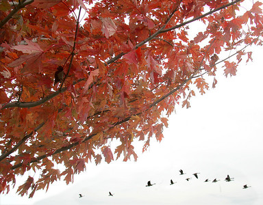 20OCT09  A maple tree in crimson glory frames a flock of airborne Canada geese at Black River Landing in Lorain, Ohio.  photo by Chuck Humel