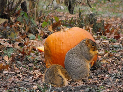 A squirrel and a pumpkin, West 19th Street in Lorain. (Photo by Chronicle reader Gary Ackerman.)
