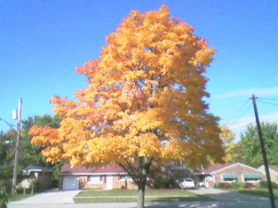 Audon Road tree. (Photo by Chronicle reader Hal Marquardt.)