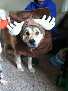 Bear the dog is dressed up as a mounted moose head.