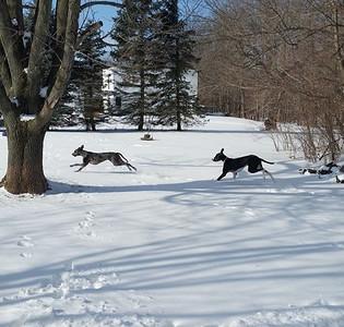 Great danes Otis and Luna enjoy the snow in Grafton.