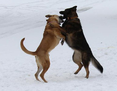 Buddy and Cinder play in the snow.