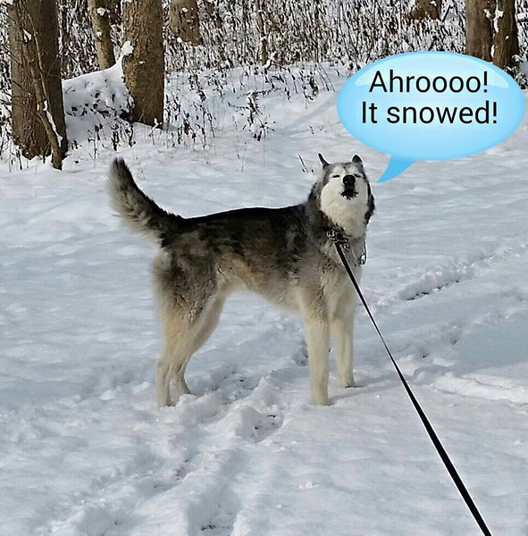 Buckeye the Siberian Husky is in his element with the recent snowfall.