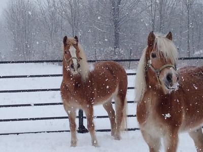 Haflingers Pebbles and BamBam, owned by Robert Klein adn Deborah Huirlburt, enjoy the snow on Feb. 1.
