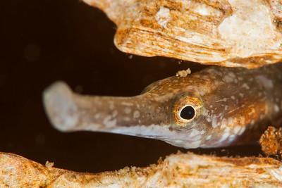 Bay Pipefish - Redondo in Des Moines, Washington