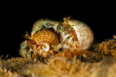 Hermit Crab - Redondo in Des Moines, Washington