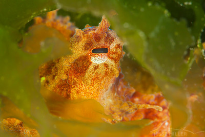 Red Pacific Octopus - Redondo in Des Moines, Washington