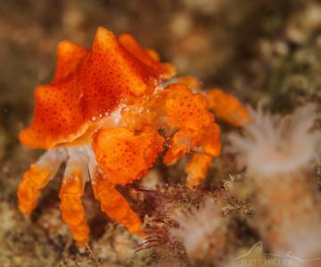 Baby Puget Sound King Crab - UW Wall near San Juan Islands, Washington