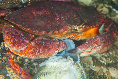 Crab - Keystone Jetty on Whidbey Island, Washington
