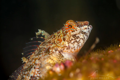 Sculpin - Keystone Jetty on Whidbey Island, Washington