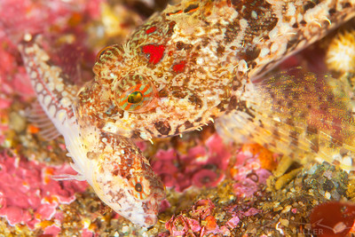 Sculpins - Keystone Jetty on Whidbey Island, Washington