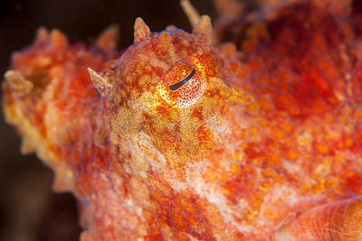 Pacific Red Octopus - Day Island Wall on Day Island, Washington