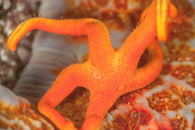 Starfish - Keystone Jetty on Whidbey Island, Washington