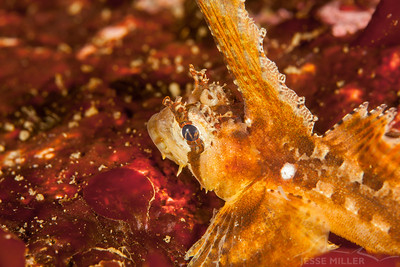 Sailfin Sculpin - Day Island Wall on Day Island, Washington