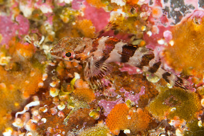 Painted Greenling - Keystone Jetty on Whidbey Island, Washington