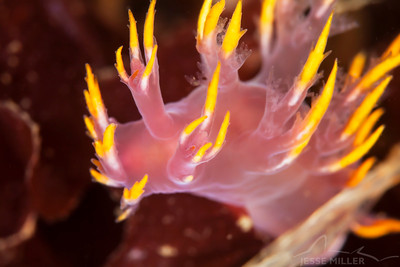 Nudibranch - China Wall near Blakely Rock, Washington