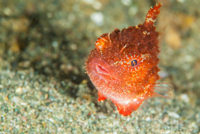 Pacific Spiny Lumpsucker - Redondo in Des Moines, Washington