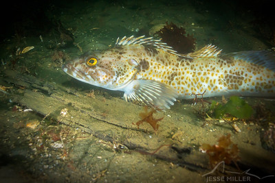 Ling Cod - Les Davis in Tacoma, Washington