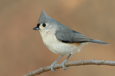 Tufted Titmouse.  01-02-07.
