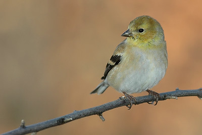 American Goldfinch.  01-02-07.