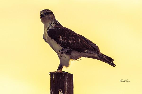 A Ferruginous Hawk  taken Nov. 21, 2014 near Floyd, NM.