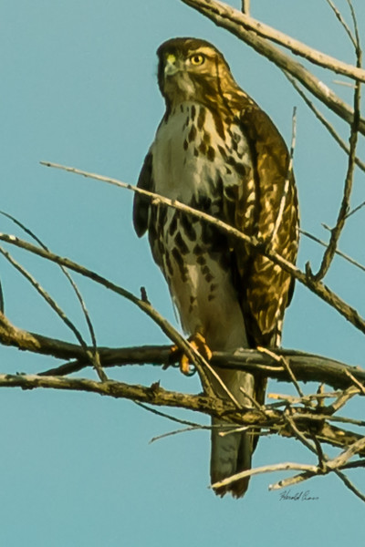 A Merlin  taken Nov. 21, 2014 near Floyd, NM.