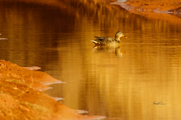 A Gadwall  taken Nov. 21, 2014 near Floyd, NM.