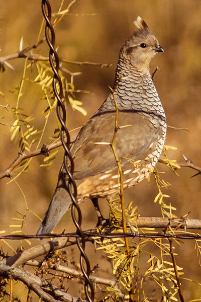 A Scaled Quail  taken Nov. 21, 2014 near Floyd, NM.