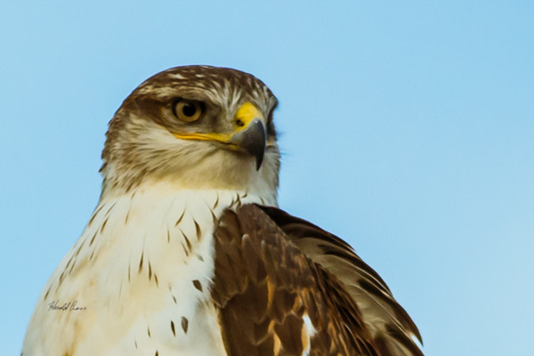 A Ferruginous Hawk  taken Nov. 21, 2014 near Floyd, NM.