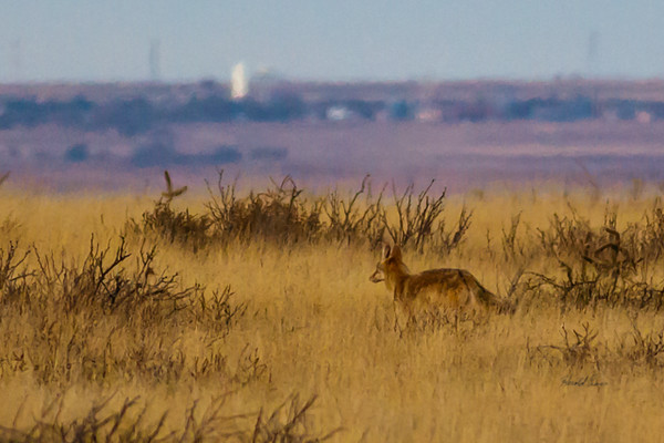 A Coyote  taken Nov. 21, 2014 near Floyd, NM.
