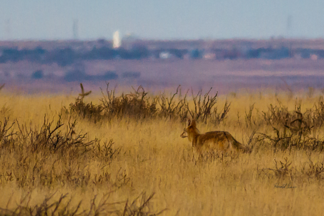 A Coyote  taken Nov. 21, 2014 near Floyd, NM.