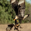 Crested Caracara Fighting
