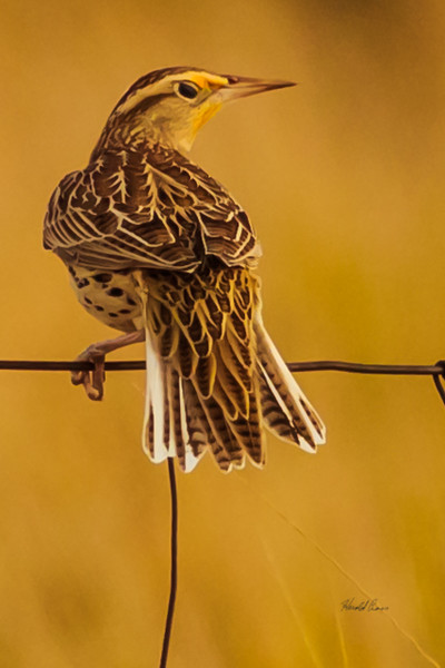 A Western Meadowlark  taken Nov. 21, 2014 near Floyd, NM.