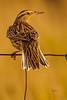 A Western Meadowlark  taken Nov. 21, 2014 near Floyd, NM.
