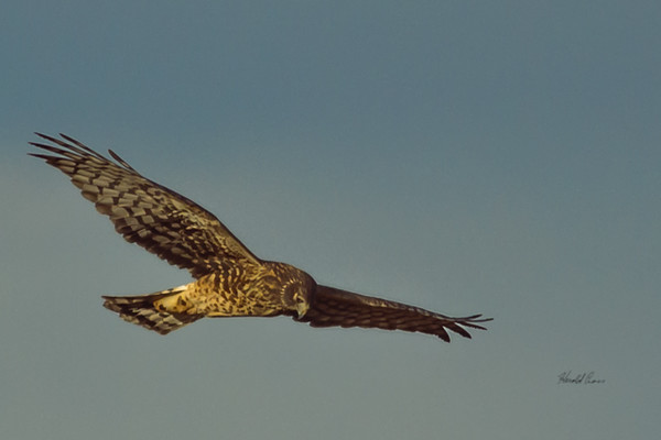 A Northern Harrier  taken Nov. 21, 2014 near Floyd, NM.