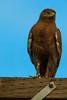 A Golden Eagle  taken Nov. 21, 2014 near Floyd, NM.